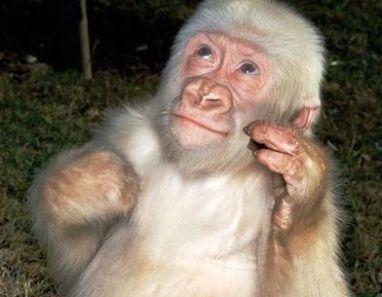 An image dispalying the Albino Gorilla